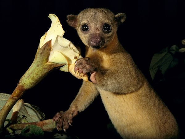 natural_mystic_travel_kinkajou_monteverde_nighttour